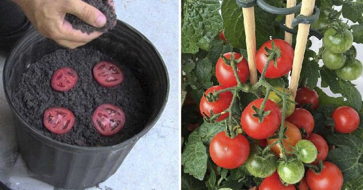 C mo plantar tomates a partir de sus rodajas - Cuando plantar tomates ...